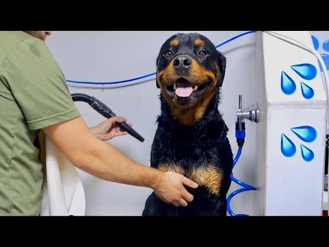Bruno the Rottweiler getting a Dog Wash |12