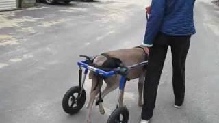 Weimaraner Dog Loves Walkin' Wheels