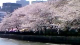 桜満開の大川を、屋形船でお花見。