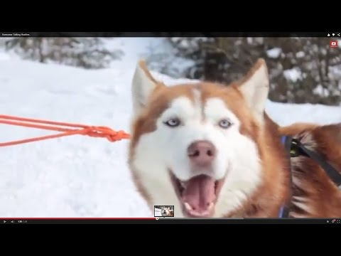 Awesome Talking Huskies Compilation