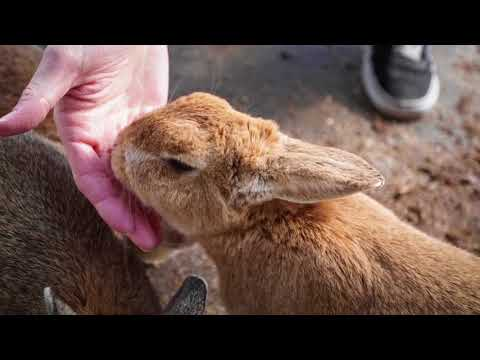 THE RABBIT ISLAND: Okunoshima, Japan.