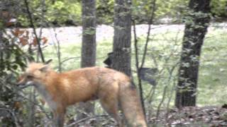 Fox Barking: Hot Springs Village, Arkansas