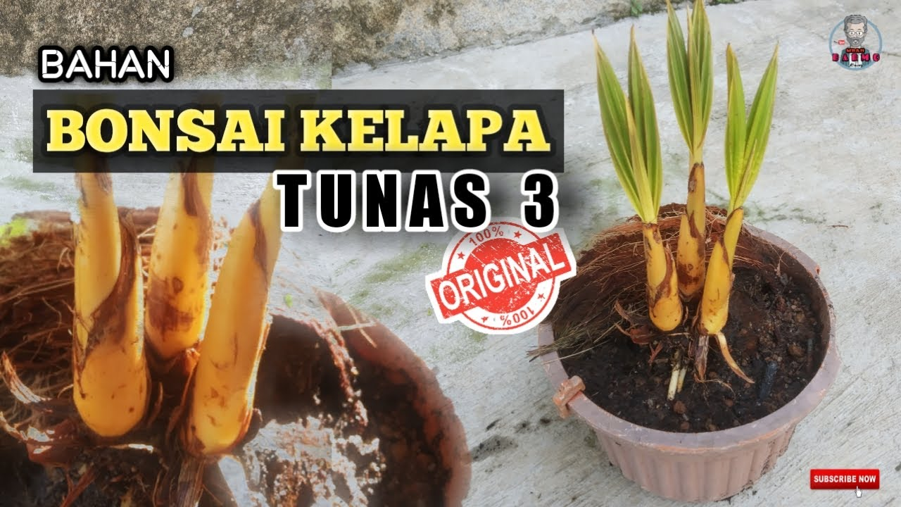 Coconut Bonsai Shoots Three Bonsai Kelapa Tunas 3 Langka