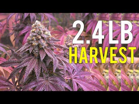 2.4-lb-cannabis-harvest!-indoor-medical-marijuana-grow