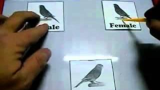 الحلقة 11 - تزويج 3 اناث كناري لذكر Mating male canary to 3 females