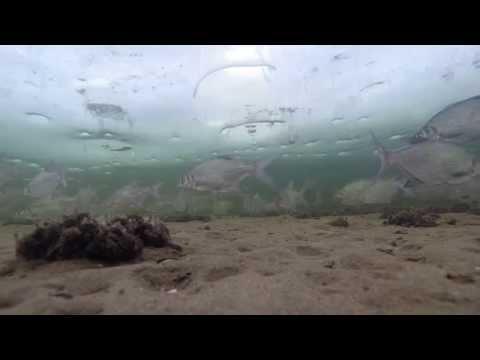 Подводная съёмка  на зимней рыбалке. Целый косяк белой рыбы: подлещик, густера, синец, плотва