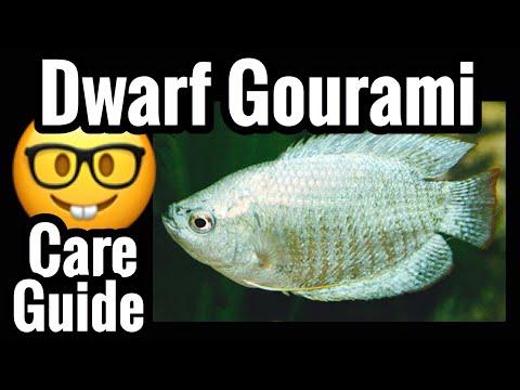 Dwarf Gourami Fish Care - Tank Mates & Info