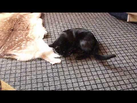 "Oriental Cat ""Brabuss"""