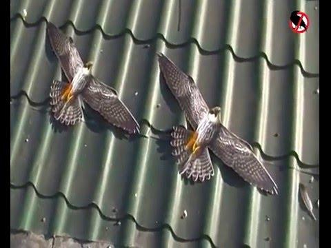 Как отпугивать голубей со зданий? Динамические отпугиватели птиц.