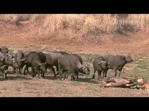 Сумасшедшая атака буйвола на льва! Схватки льва против буйвола