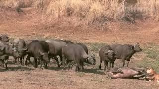 видео: Сумасшедшая атака буйвола на льва! Схватки льва против буйвола