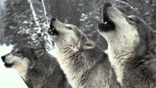 Wolf Pack Howling - SOUND ONLY!
