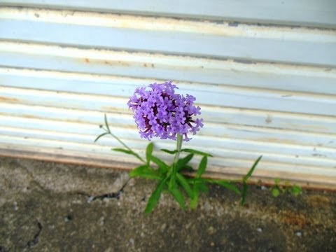 ド根性夏の花2013(近所を散策 7月13~19日撮影)