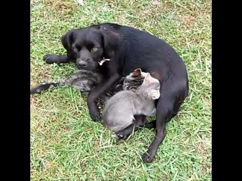 Dog feeding kittens