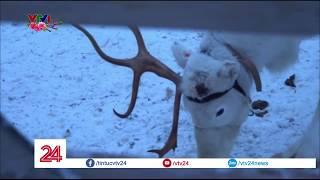 Tuần Lộc - Loài Vật May Mắn Ở Phần Lan   VTV24