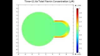 Simulation of the Migration of Filamin During Cell Deformation