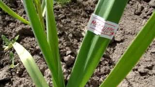 7. чеснок Рокамболь и другие. Слоновий чеснок - Allium Ampeloprasum, гигантский