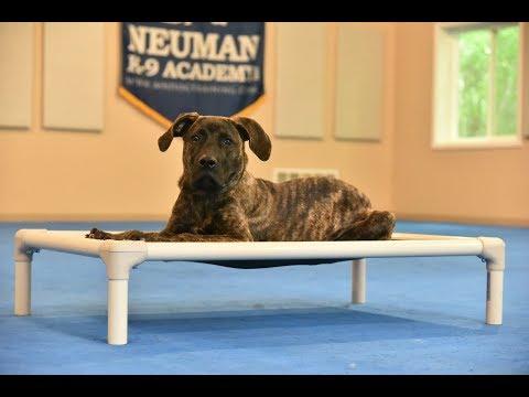 Ivy (Presa Canario) Puppy Camp Dog Training Video Demonstration