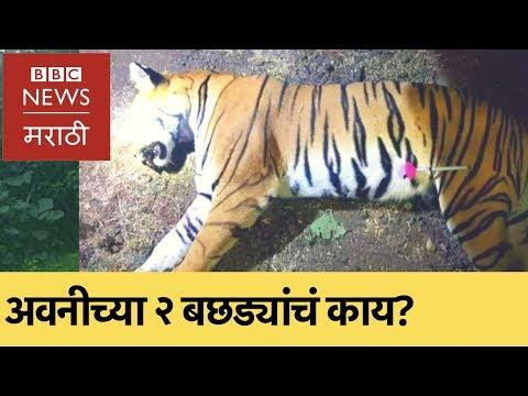 Tigress T1 Avni killed, what now? : 'नरभक्षक' अवनी वाघीण ठार, पण पुढे काय? (BBC News Marathi)