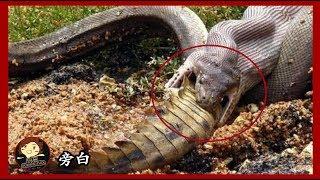 【 十大 】10個 亞馬遜最致命的生物 ,Top 10 Amazon's deadliest creature - 三爺奶奶頻道