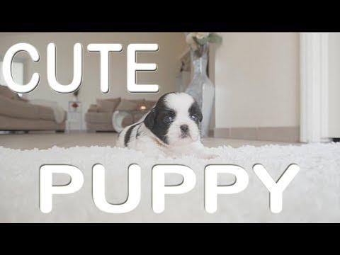 The Cutest Puppy ~Shih Tzu