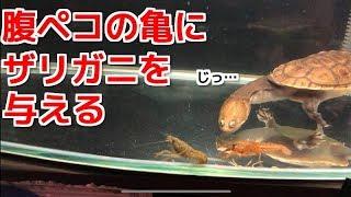 ザリガニを腹ペコの亀に与えてみる thumbnail