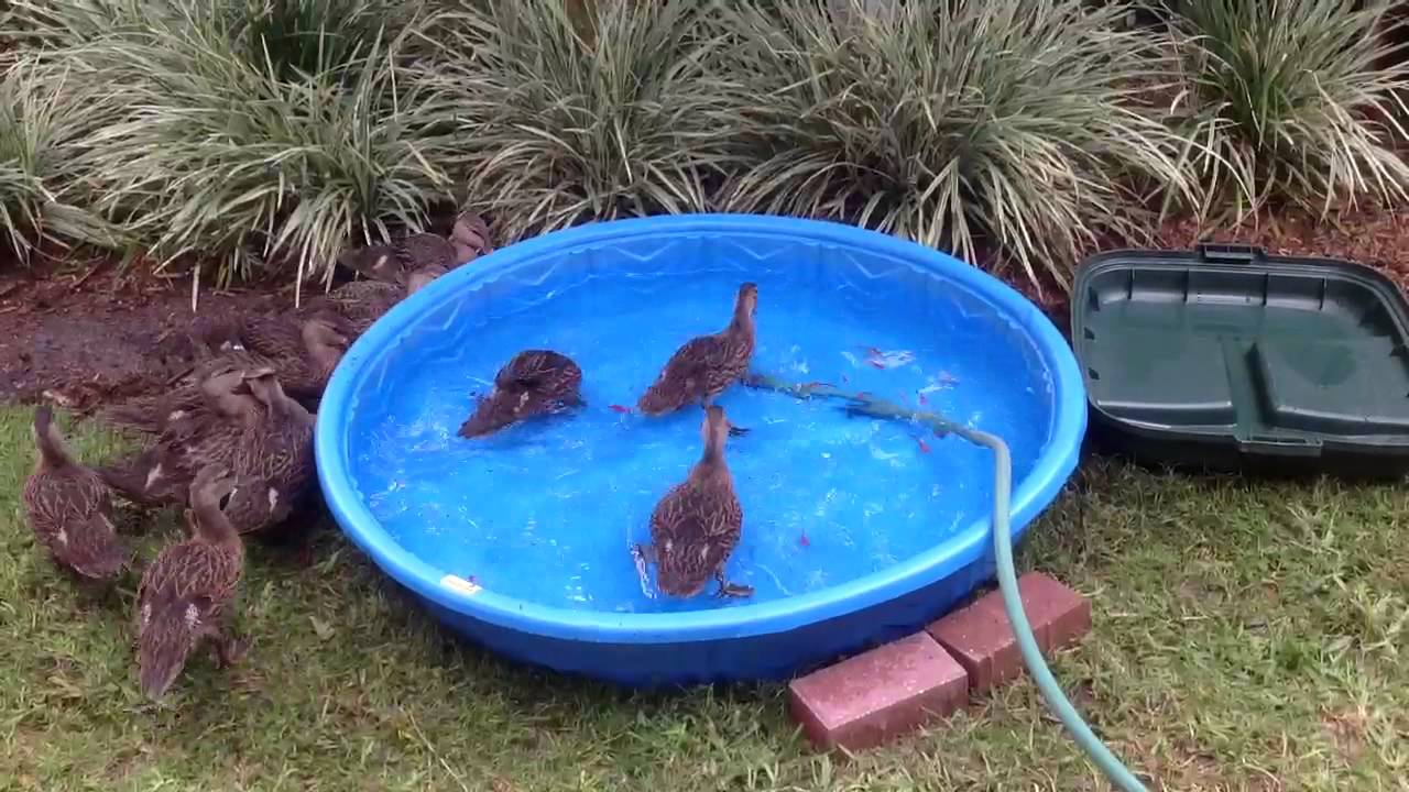 Baby Mallard Ducks Eating Feeder Fish From Baby Pool Youtube
