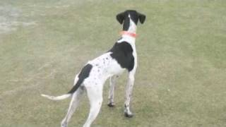 Ester of English Pointer of rescue dog from which two weeks have pa...