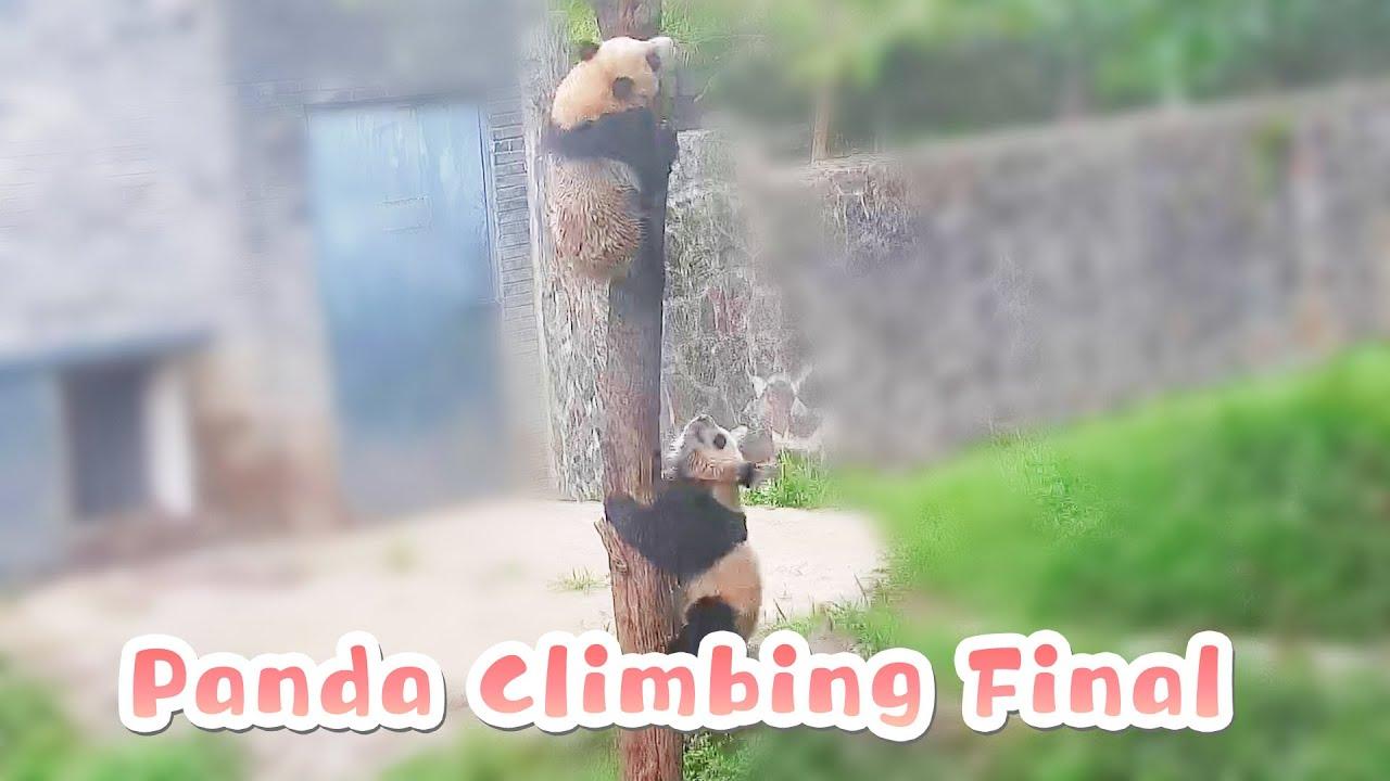 Final Climbing Contest Between Kung Fu Baby Pandas | iPanda