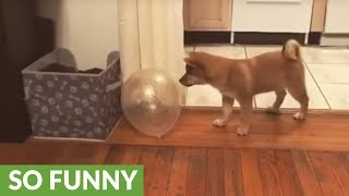 Shiba Inu puppy plays with a balloon