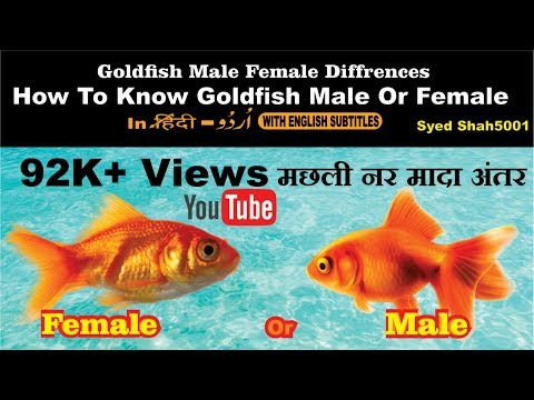 Goldfish  Male or female? How to find easily Hindi & Urdu with English subtitles thumbnail