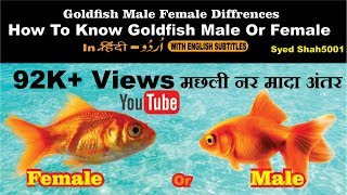 Goldfish  Male or female? How to find easily goldfish male female differences