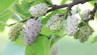 White Mulberry Fruit Health Benefits