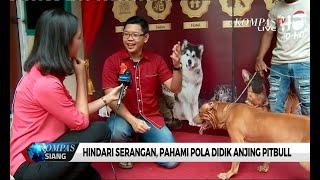 Hindari Serangan, Begini Cara Mendidik Anjing Pitbull