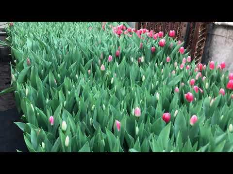 Выгонка тюльпанов к 8 марта (Часть 1)