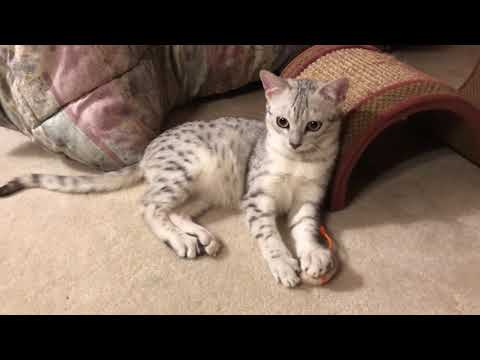 Energetic Egyptian Mau Kitten Plays with his Mouse Toys