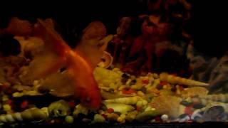 Домашний аквариум. Золотая рыбка (gold fish) в аквариуме.