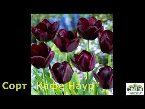 Шикарные сорта тюльпанов