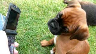Gambar cover Funny Boxer Puppy reacting to phone ringtone