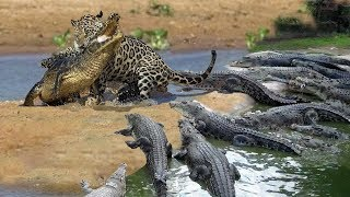 Cheetah Don't Escape From Crocodile Hunting | Big Battle of Leopard, Cheetah, Jaguar vs Crocodile