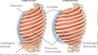 BIOLOGÍA - Unidad 3 -  El Sistema Respiratorio - Principales características