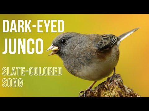 Dark-eyed Junco(slate-colored) song