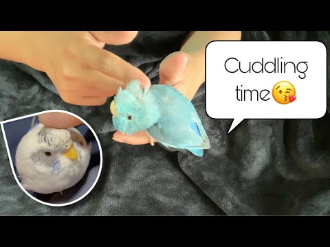 BUDGIE AND PACIFIC