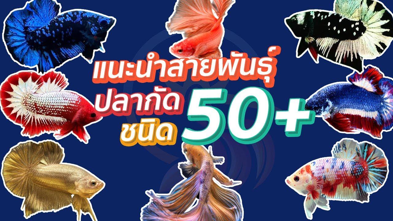 สายพันธุ์ปลากัด แนะนำ 50+ กว่าชนิด สำหรับมือใหม่!