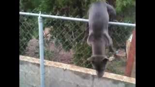 Blue American Pit Bull Terrier Dog Climbing Over Chain Link Fence.trespassing. Full Prick Ears..