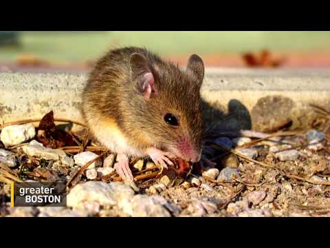 To Fight Lyme Disease, MIT Researchers Look To White-Footed Mice