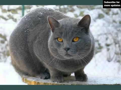 Chartreux | Picture Ideas Of Cats
