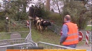 Des vaches secourues par des pompiers