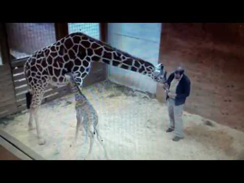 April the giraffe kicking at Dr Tim again