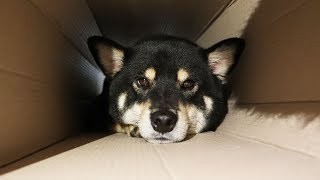 The Shibainu hides in the box.[Shibainu Gom& Taeng]